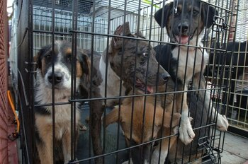 Stray dogs found after Hurricane Katrina